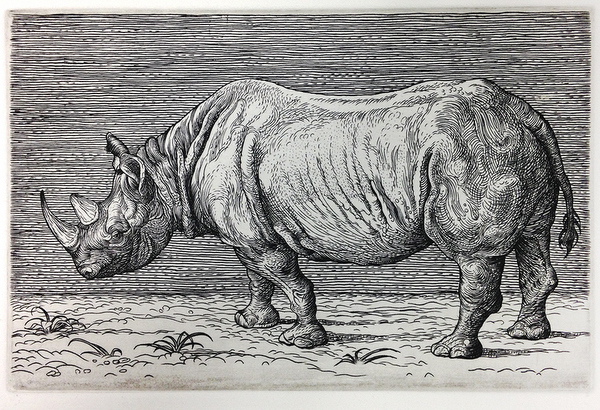 Rhinoceros, 2014  5 x 8 inches  copperplate engraving