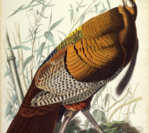 John_James_Audubon_-_Great_American_Cock_(Wild_Turkey)smll